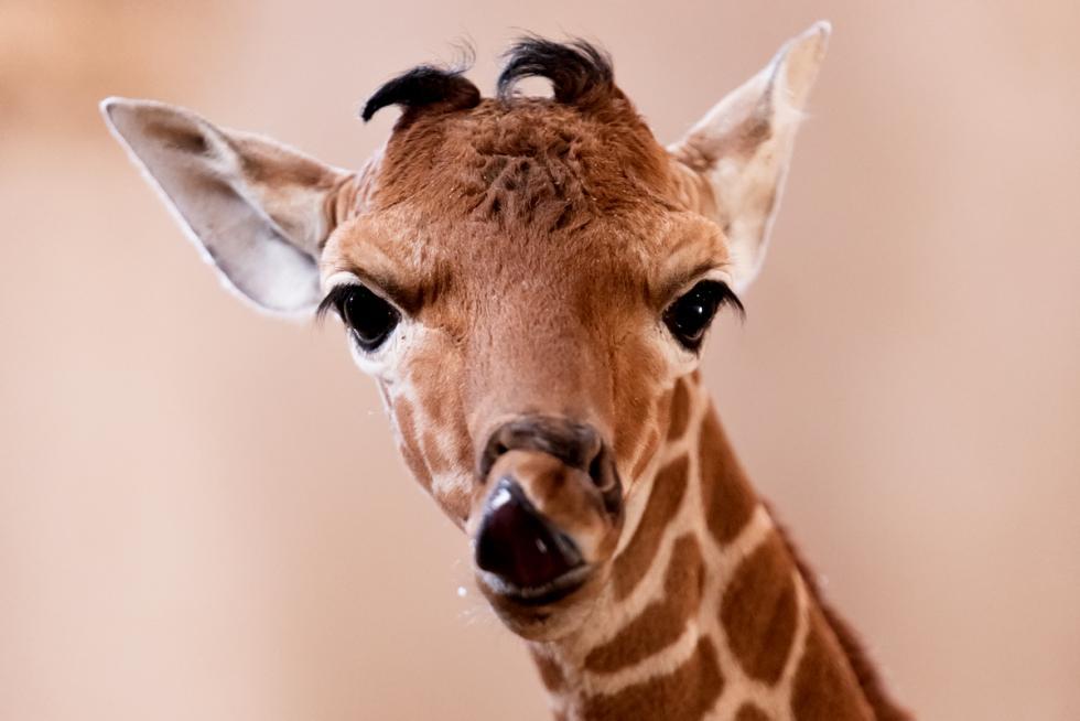 Narodziny wzoo - mała żyrafa siatkowana otrzymała imię Inuki, czyli zapach